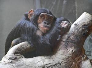 chimpamcé3