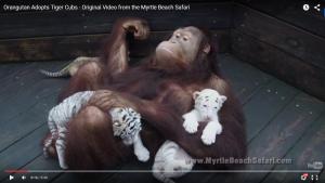 OrangutanTigres